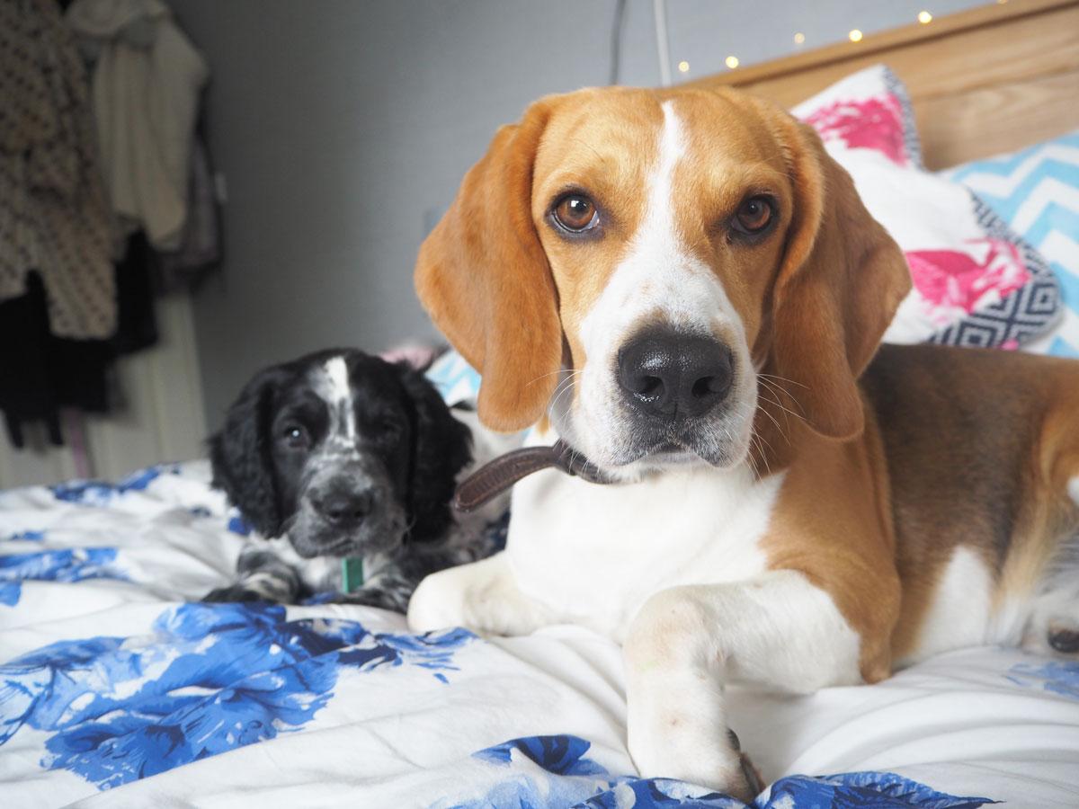 beagle-sprocker