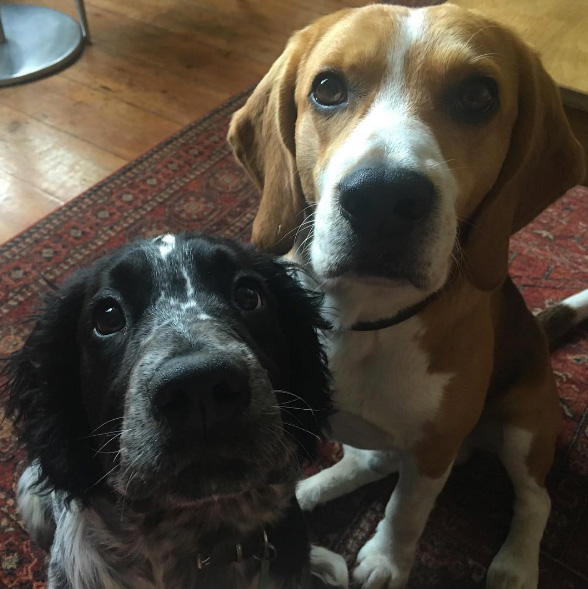 beagle-and-sprocker