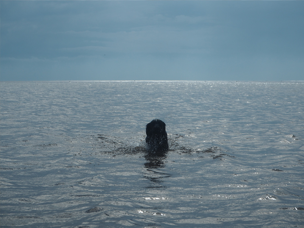 sprocker-puppy-swimming